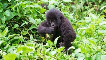 Africa, viaggi avventura con i gorilla