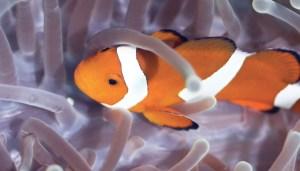 pesce_pagliaccio_1217
