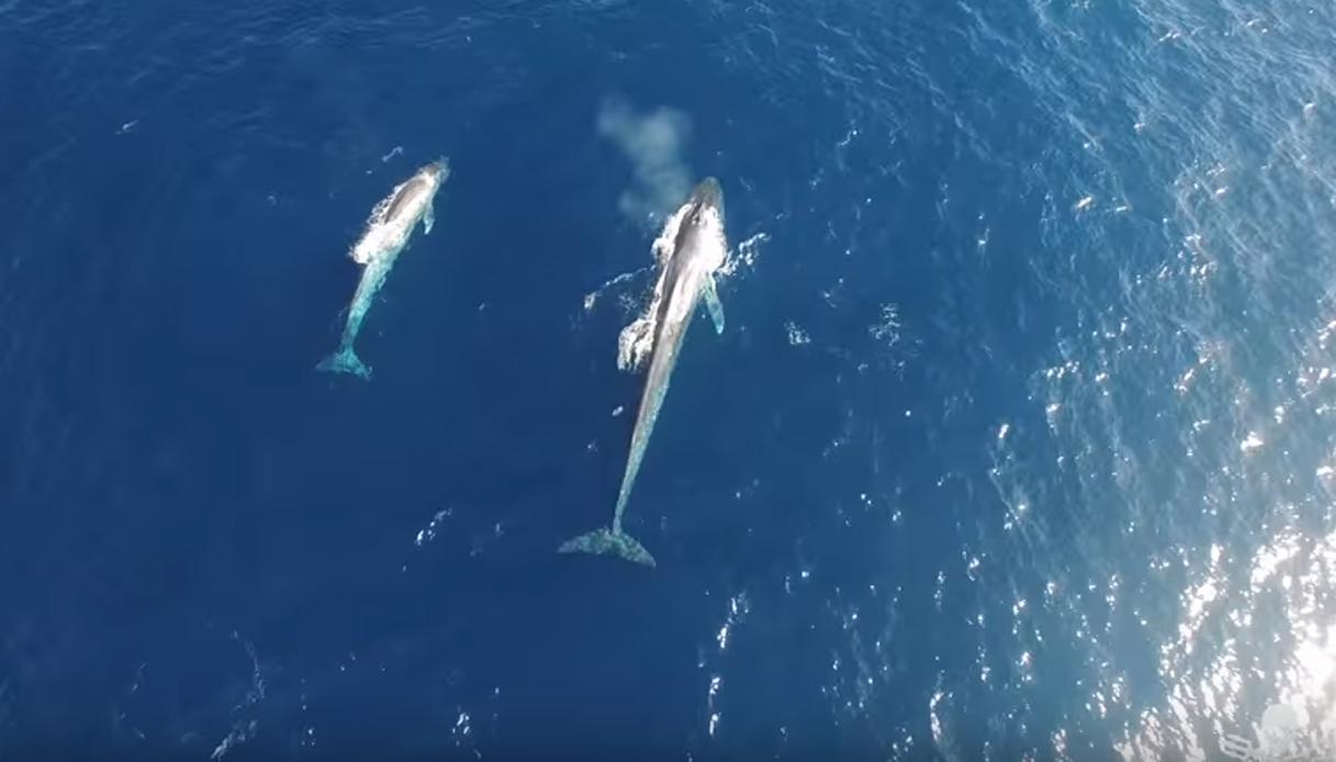 La balenottera azzurra e il suo cucciolo filmati dal drone