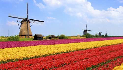 campo-tulipani-olanda-t