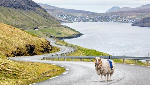 faroe-island-sheep-camera_500