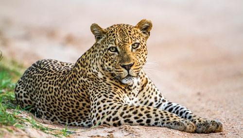 malawi-leopardo_th_500