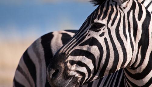 malawi-zebra_th_500