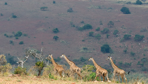 akagera-national-park-t