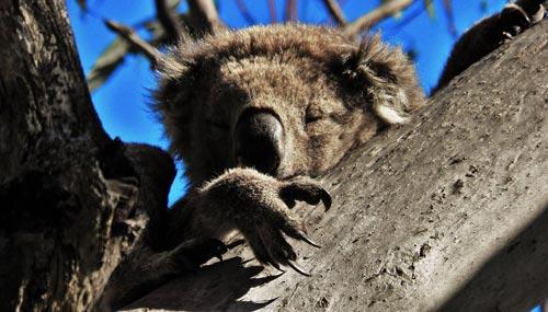 koala-foto-francesco-cisky-gabriele