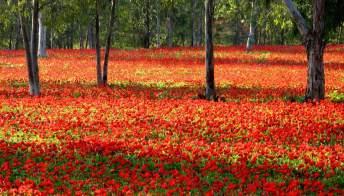 Il deserto del Negev si riempie di fiori una volta all'anno