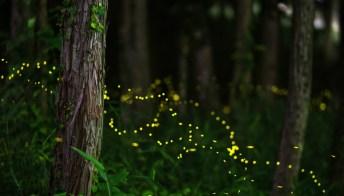 La danza delle lucciole: viaggio alla scoperta di boschi e prati in cui ammirarle