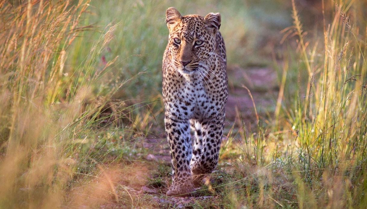 Fotografare i leopardi e rinoceronti del Greater Kruger National Park in Sudafrica