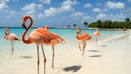 Ad Aruba, sulla spiaggia abitata dai fenicotteri rosa