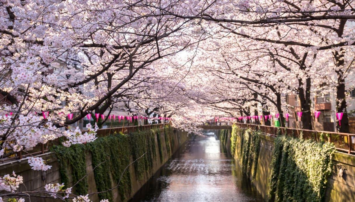 Sakura fioriti a Tokyo in Giappone