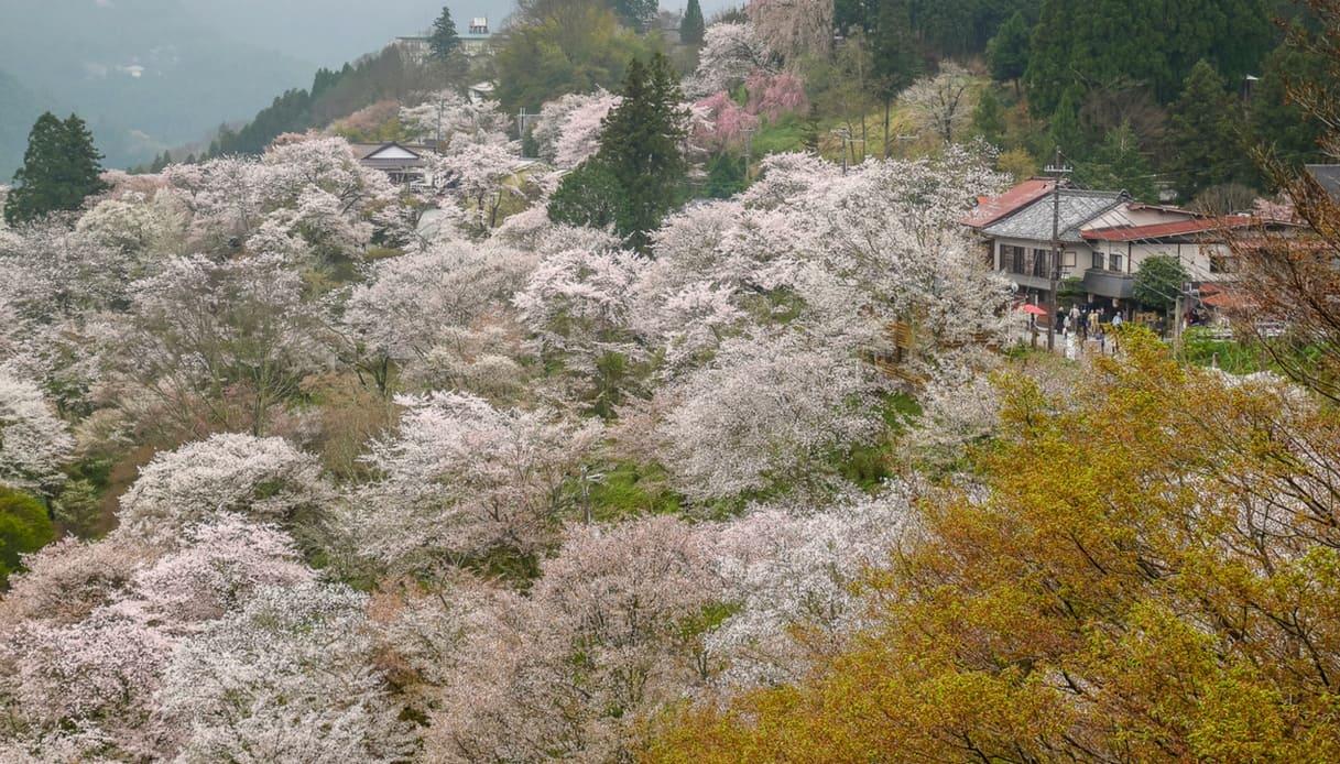 La fioritura Sakura a Yoshino in Giappone