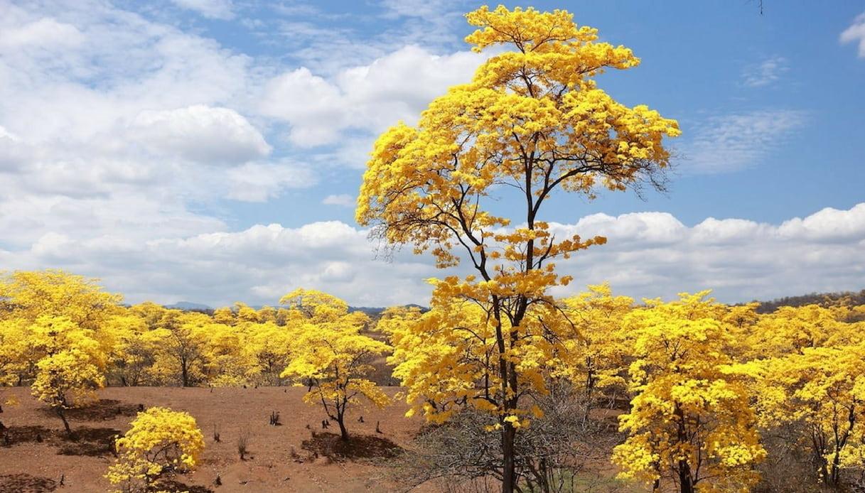 Ecuador, la foresta che ogni anno si colora di giallo per una settimana