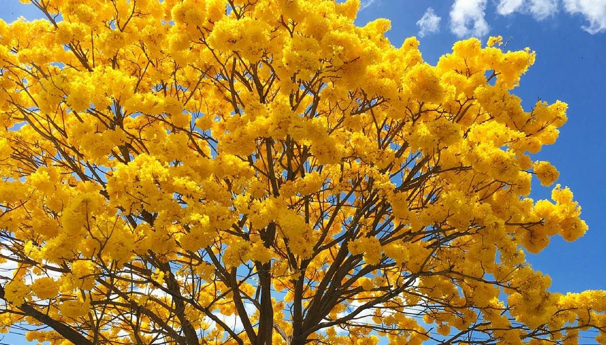 Ecuador, la foresta che si colora di giallo per una settimana