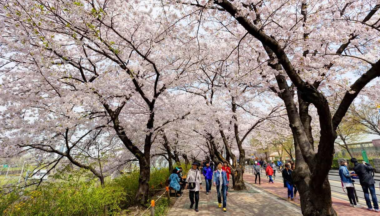 Yeouido-Cherry-Blossom-Festival-seoul