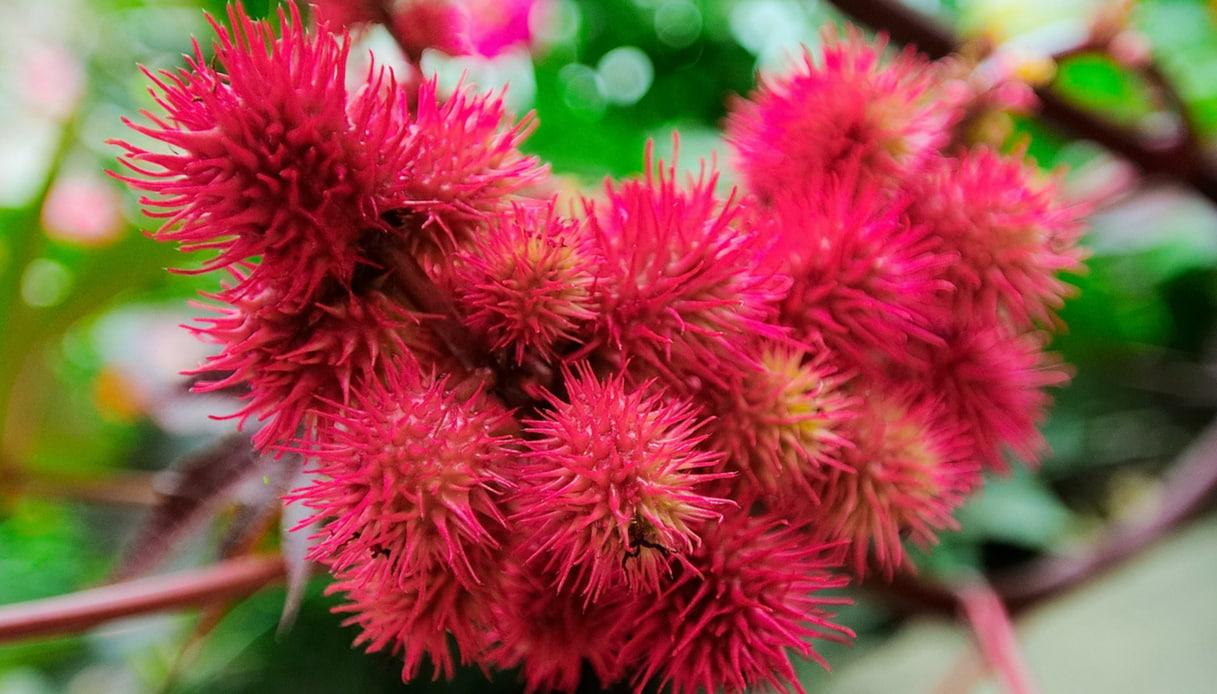 Pianta Ornamentale Con Bacche Rosse state alla larga da queste piante, sono belle ma velenose