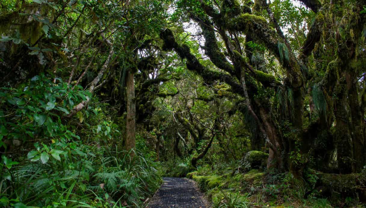 Goblin Forest, Nuova Zelanda