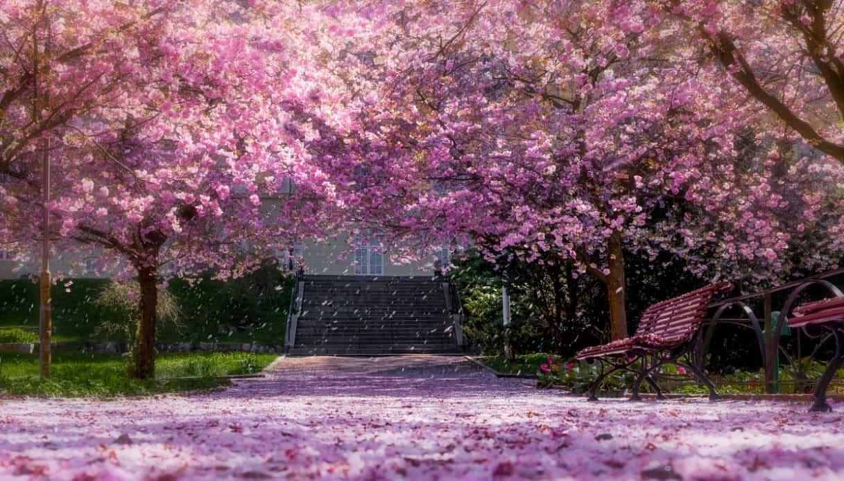 Splendidi ciliegi in fiore in Giappone