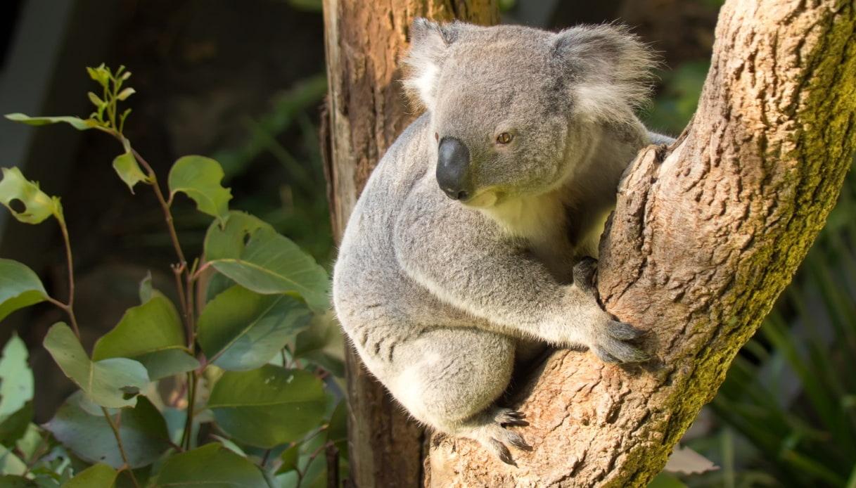 Taronga Zoo - Koala