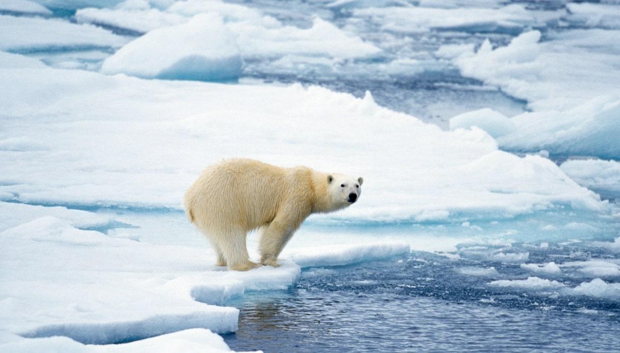 orsi polari svalbard
