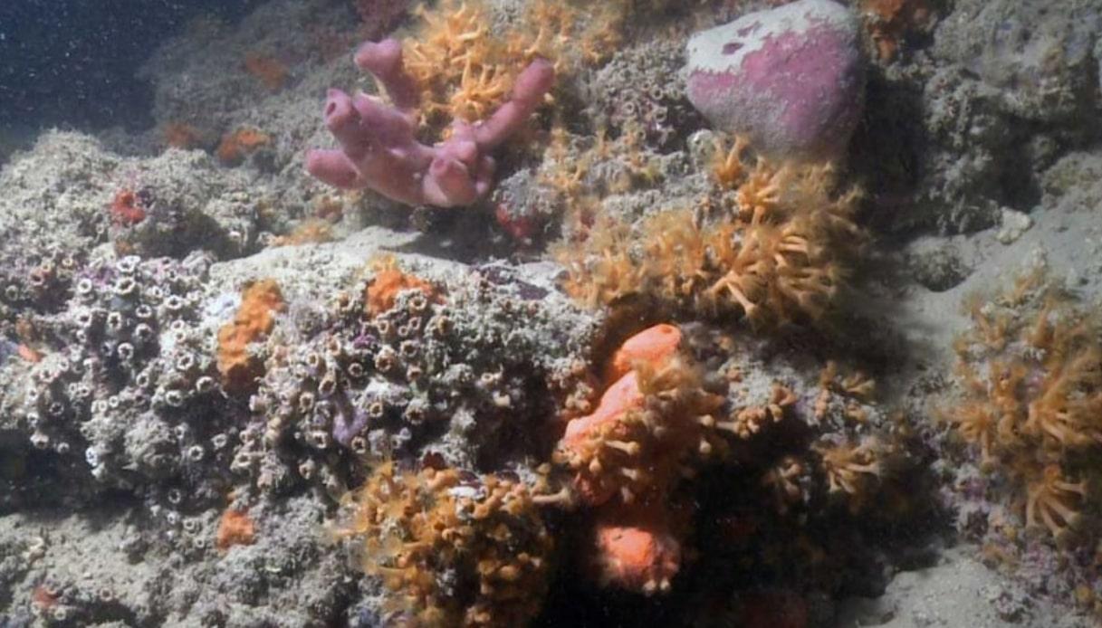 Scoperta un'incredibile barriera corallina al largo della Puglia