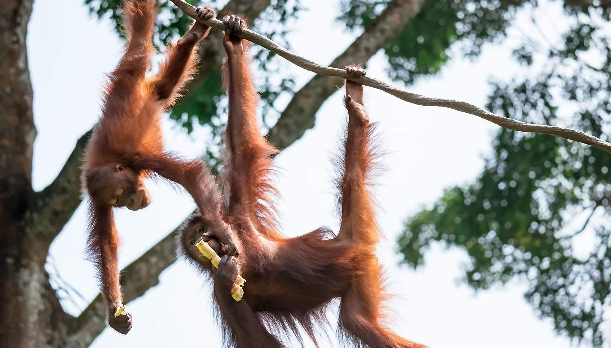 borneo-indonesia-orangutan