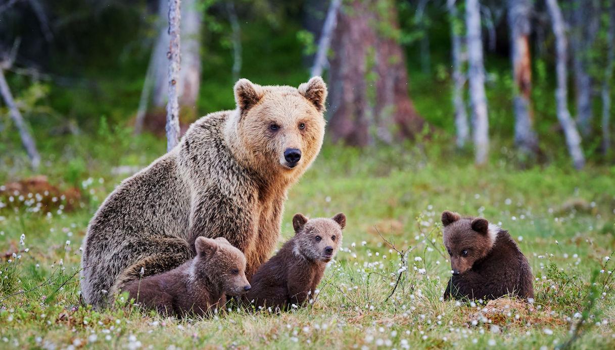 orsi in finlandia