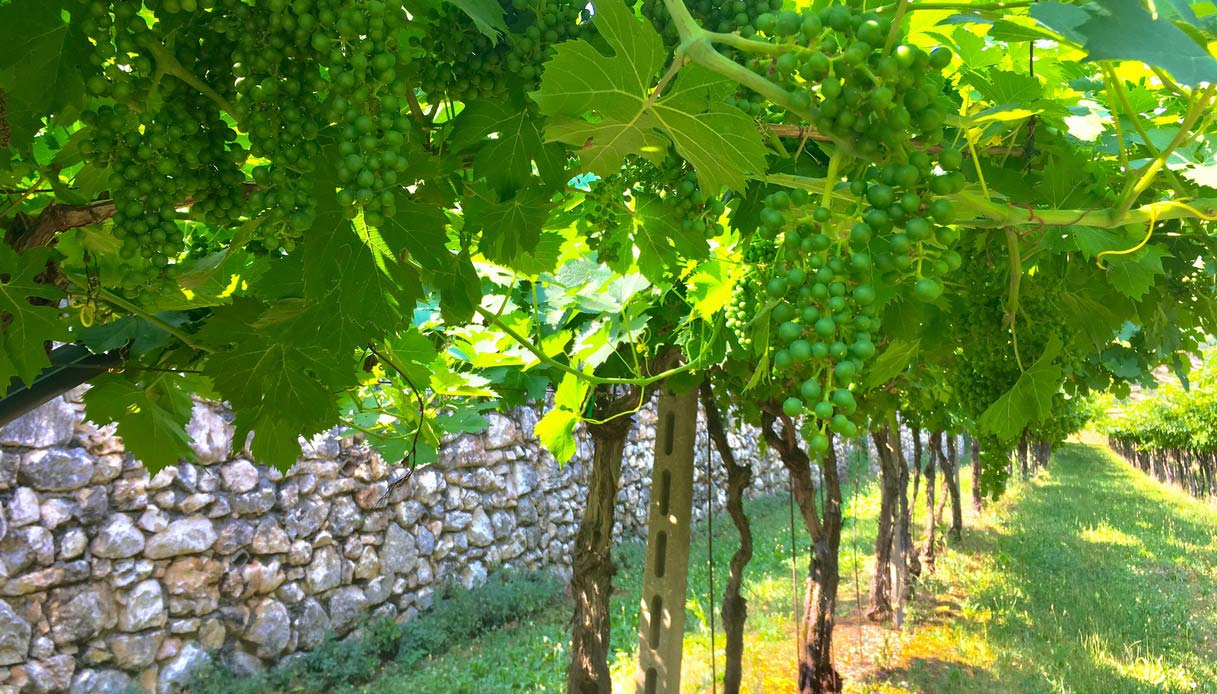 Le vigne del Valpolicella