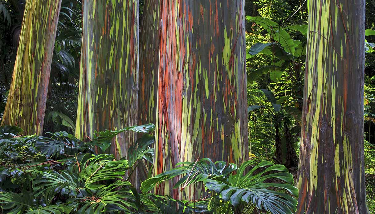 Gli alberi arcobaleno esistono davvero. E sono bellissimi