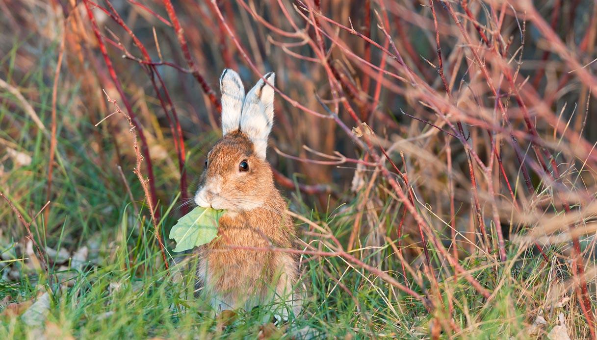 In Canada c'è una città totalmente invasa da adorabili conigli