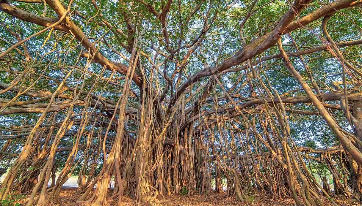 L'albero più grande del mondo si trova in India e simboleggia l'eternità