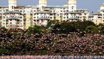 Mumbai si tinge di rosa. Spettacolare invasione di fenicotteri per il lockdown