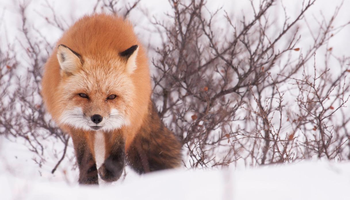 volpe rossa a Nunavik