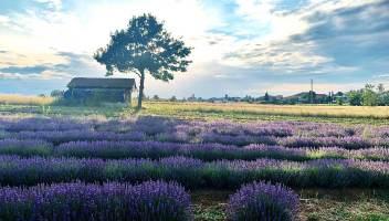Il Monferrato come la Provenza: ecco gli splendidi campi di lavanda