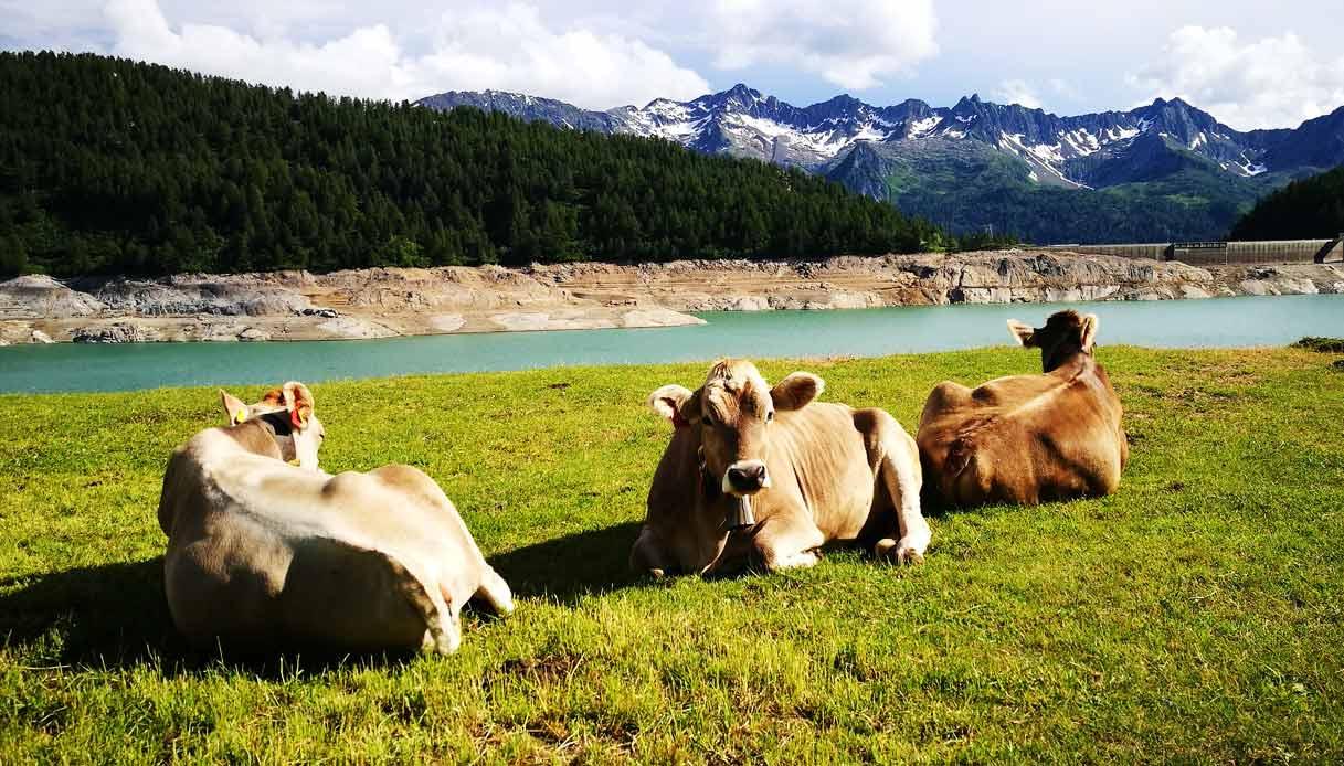 ticino-mucca