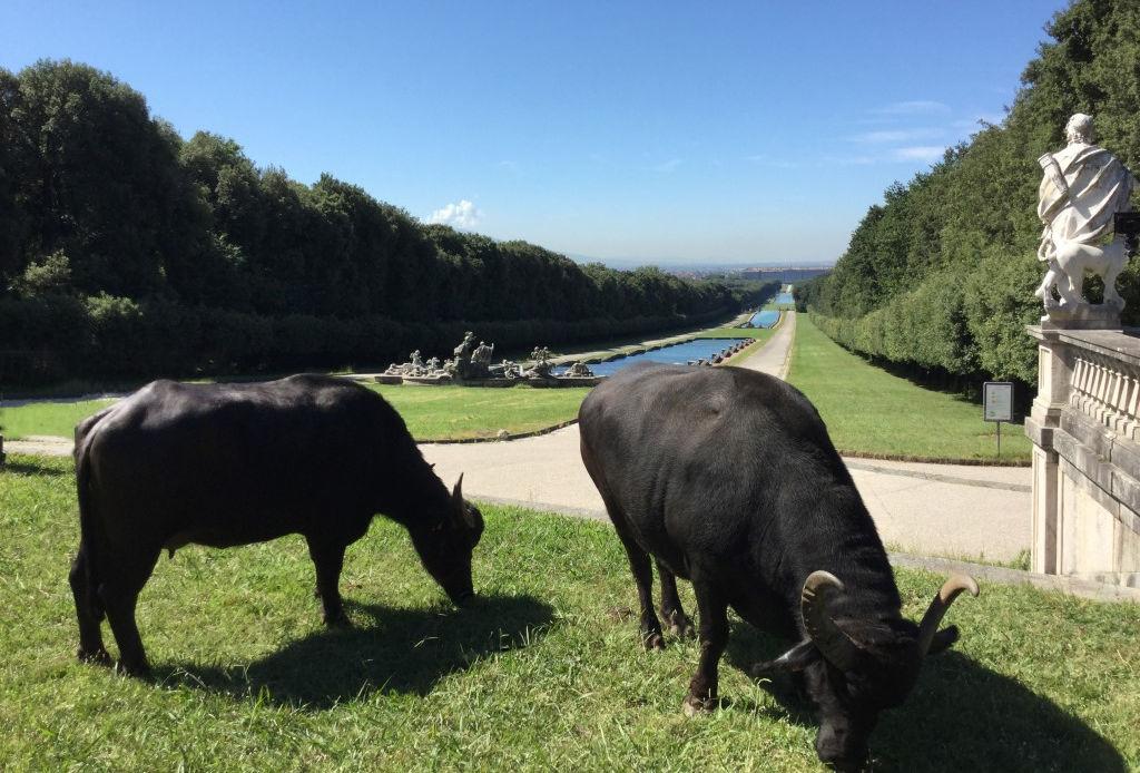 Reggio Caserta con bufale
