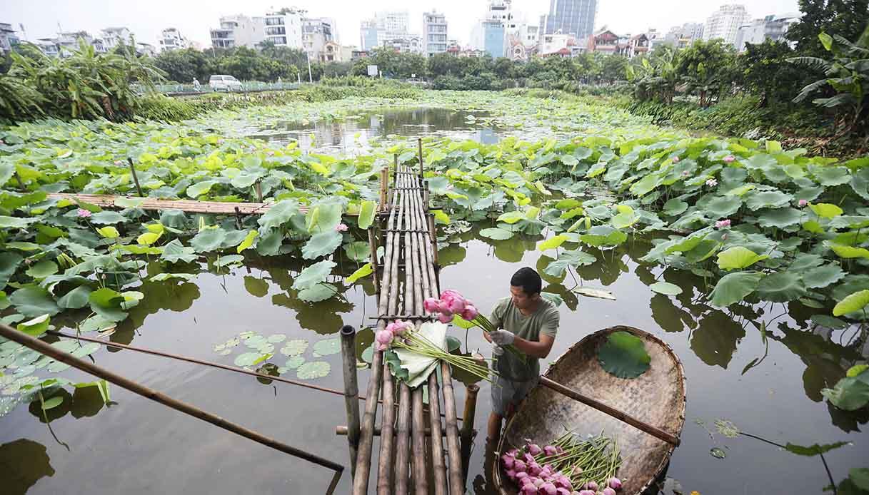 fiori di loto Hanoi