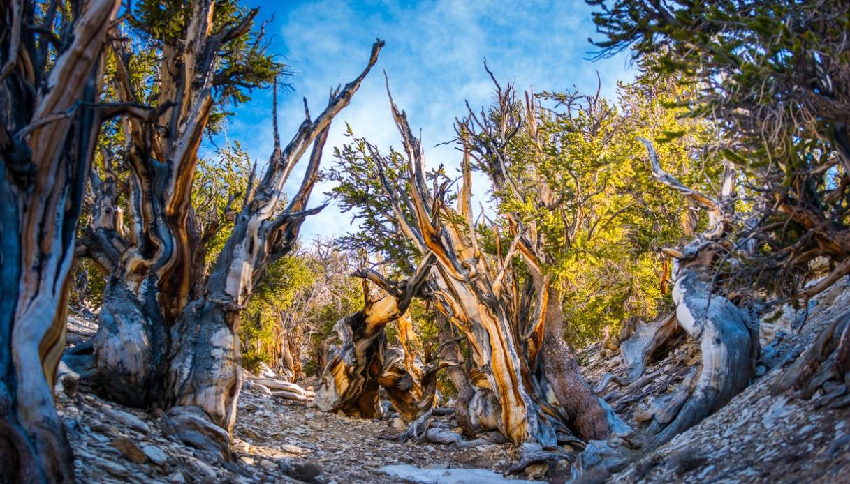 Alberi Great Basin National Park
