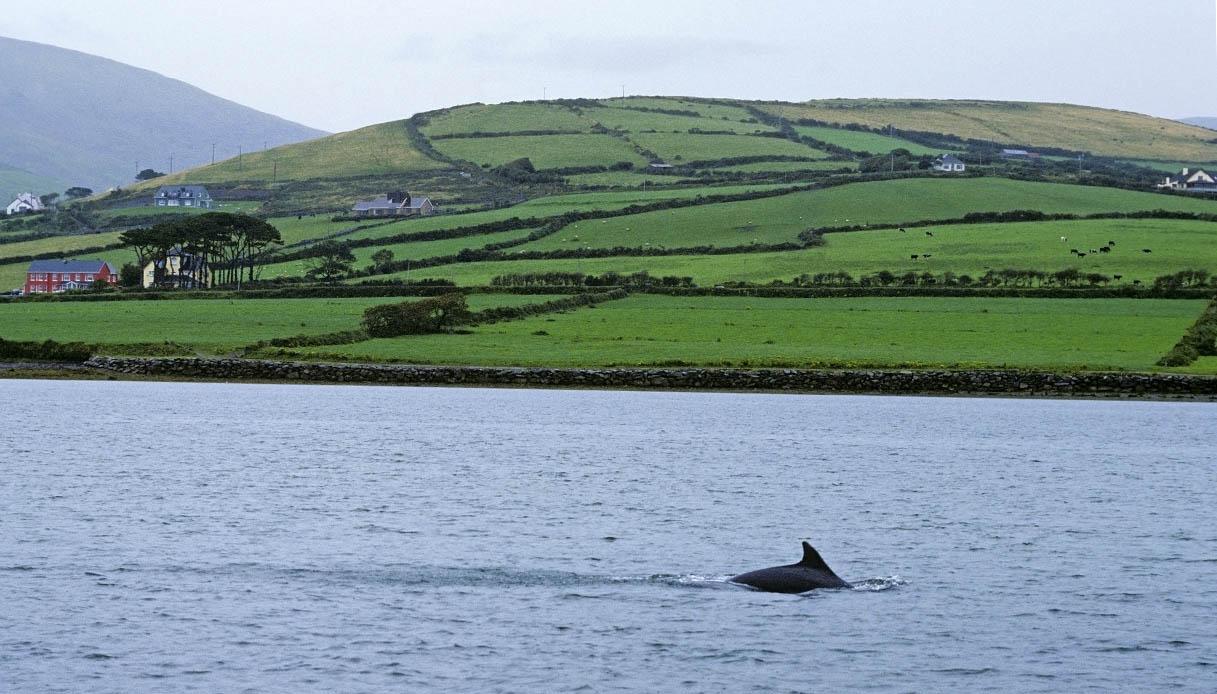 Fungie delfino