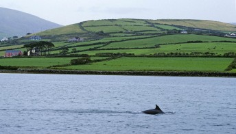 """Irlanda: scomparso Fungie, il delfino """"nazionale"""". Il paese intero è in apprensione"""