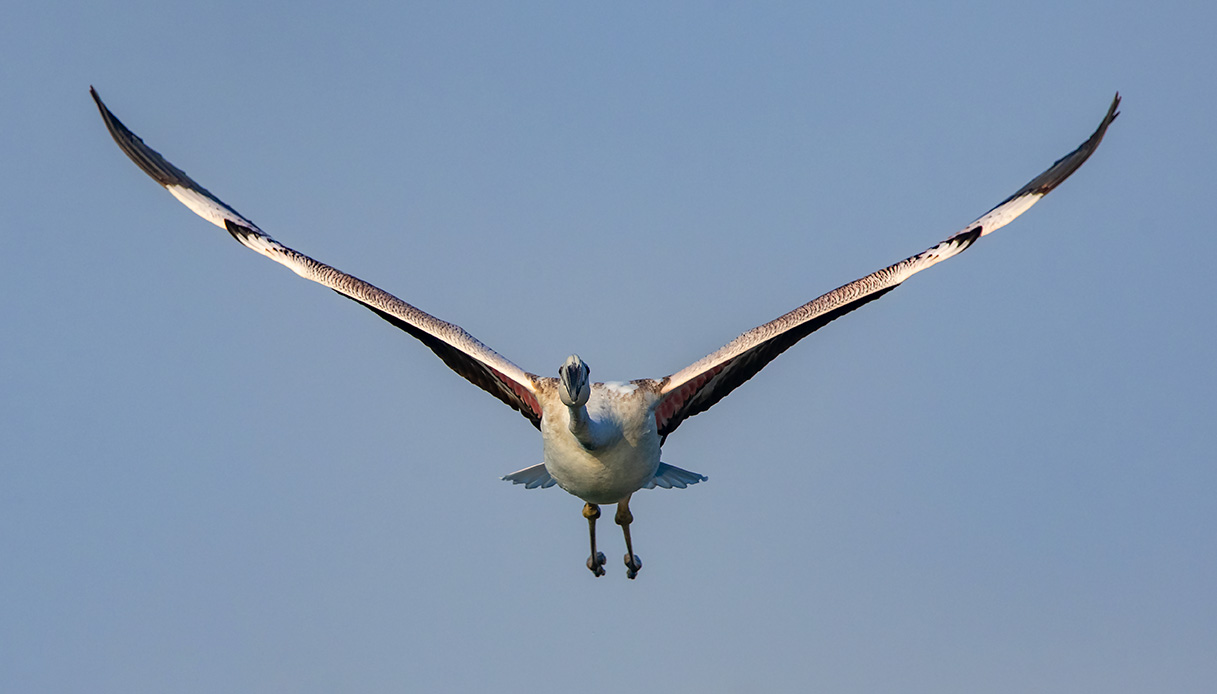 fenicottero vola