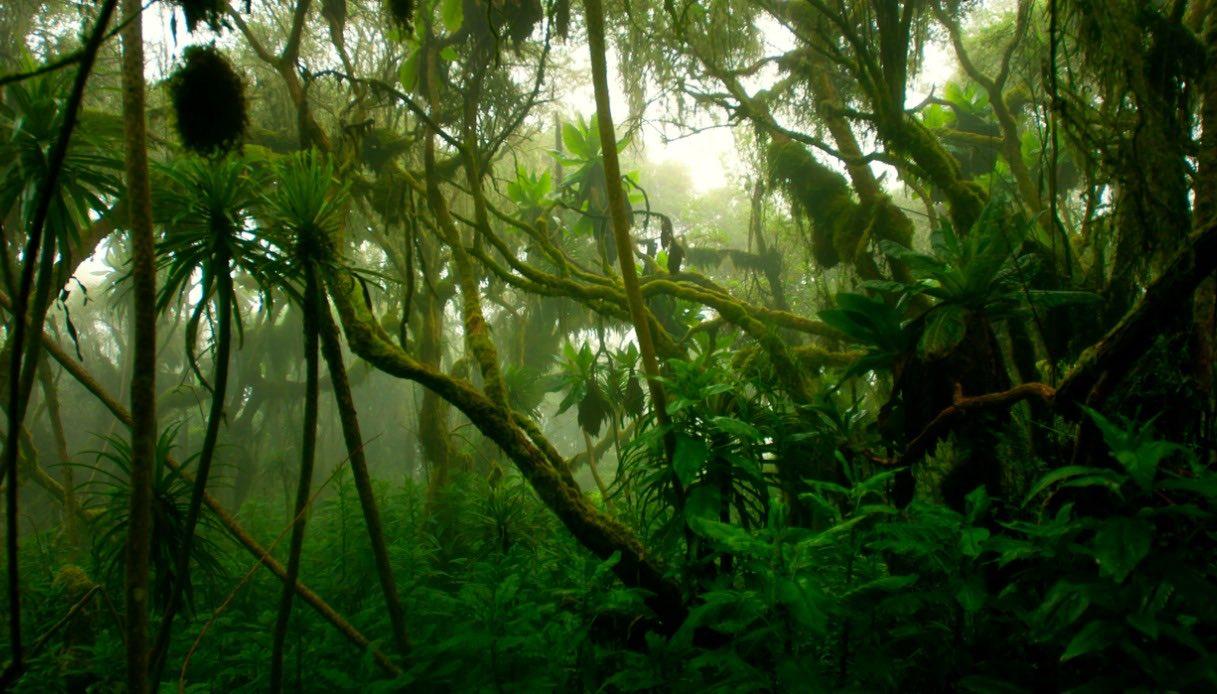Piante del Parco dei monti Rwenzori