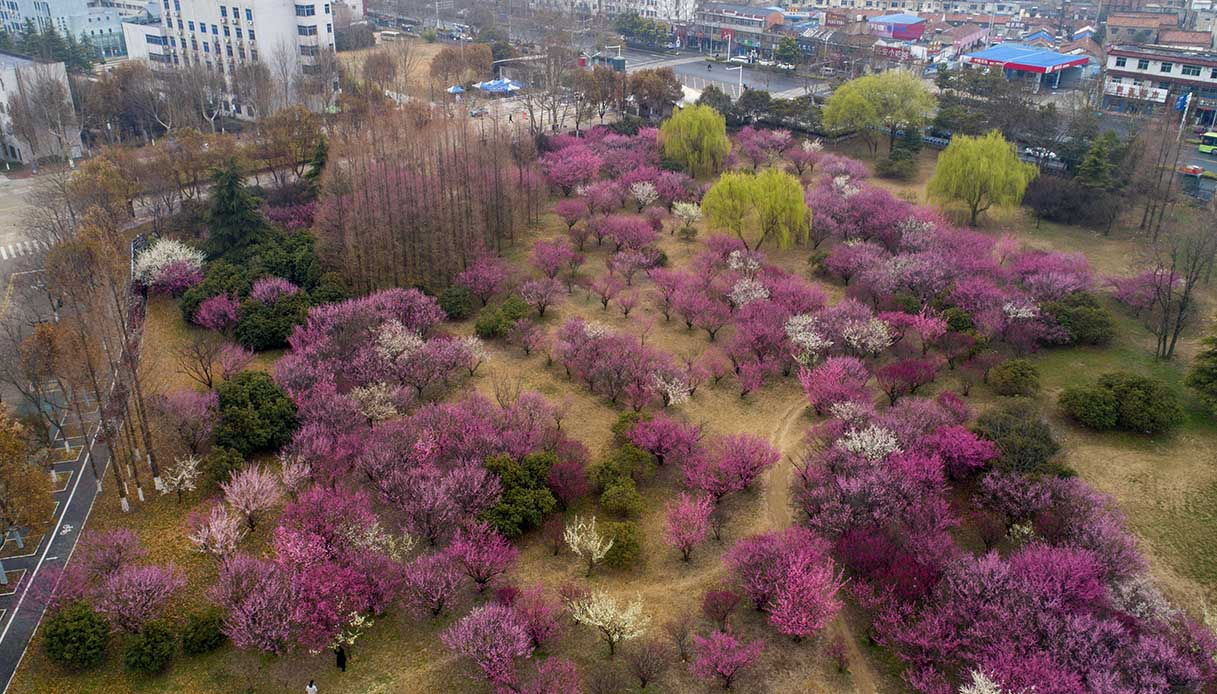 Fioritura del prugno in Cina