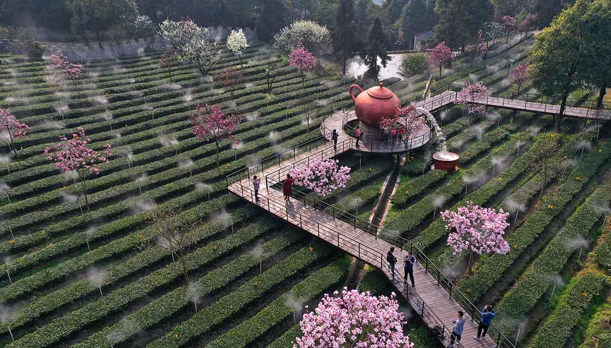 Tea Plantation In Yibin