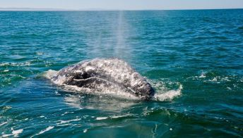 Una rarissima balena sta nuotando nel nostro mare: è un evento eccezionale