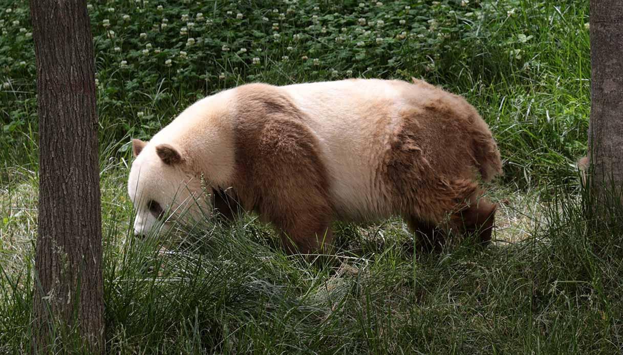 Qi Zai, panda marrone gigante