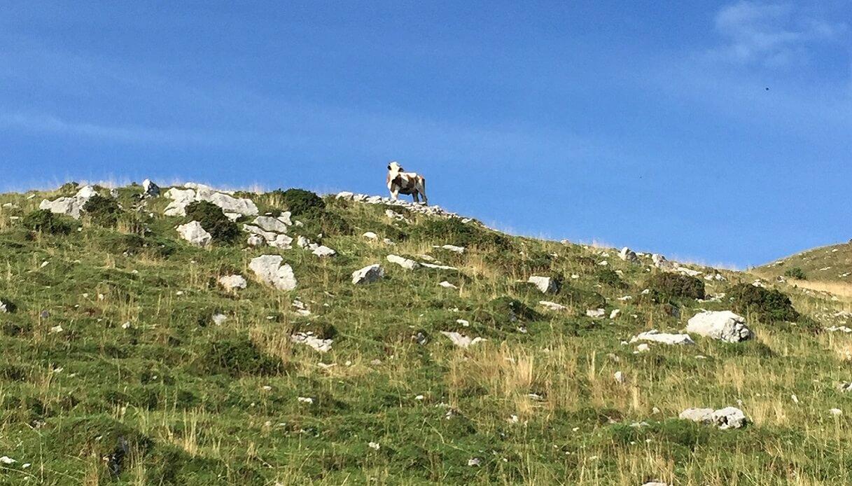 monte cuar pascoli mucca