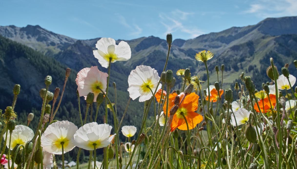 Il papavero delle Alpi Giulie