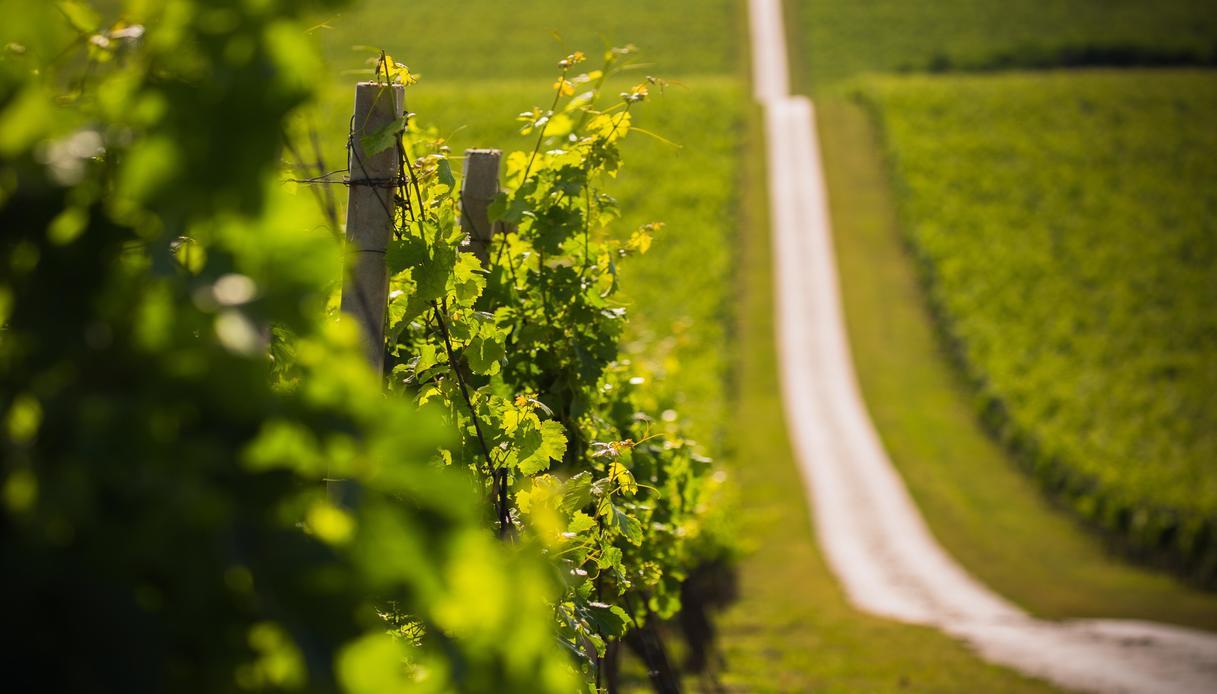 vini bianchi croazia