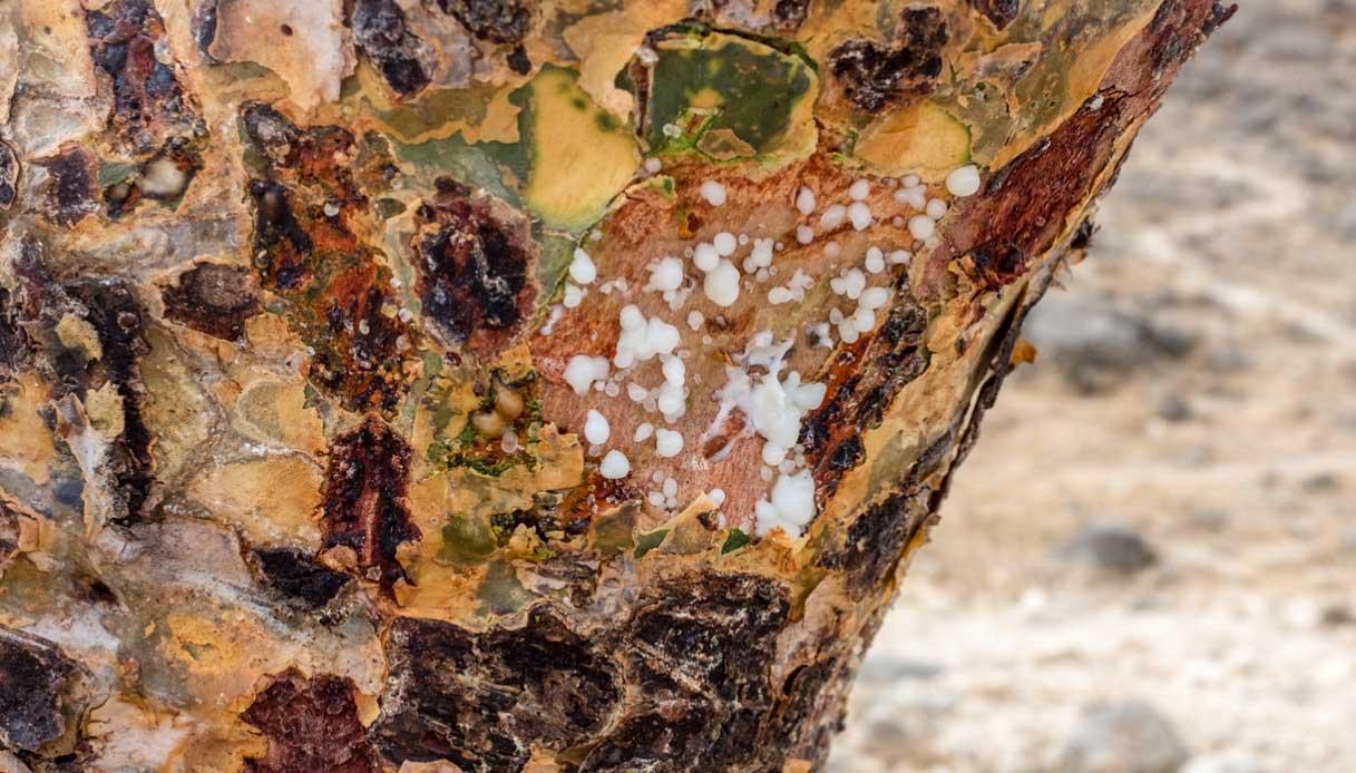 albero di incenso Salalah