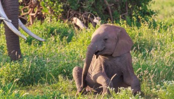 All'ombra del Kilimangiaro si può adottare un elefante